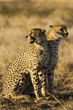 Two Adult Cheetahs, Acinonyx Jubatus, Stand in Grass at the Phinda Game Reserve Photographic Print by Steve Winter