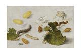 Die Verwandlung der Seidenraupe Giclee Print by Jan van Kessel