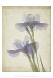 Parchment Flowers VIII Posters by Judy Stalus