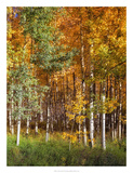 Aspen Glen II Prints by David Drost