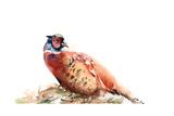 Pheasant Posters av Sophia Rodionov