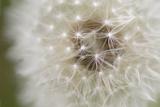 Dandelion Close Up Pósters