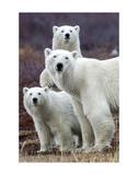 Churchill Polar Bears Print by Art Wolfe