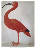 Scarlet Ibis with an Egg, 1699 - 1700 Print by Maria Merian