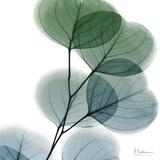 Dull Eucalyptus Prints by Albert Koetsier