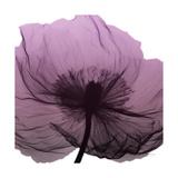 Poppy Purple Posters by Albert Koetsier