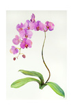 Orchid Botanical, 2013 Giclee Print by John Keeling