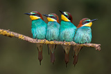 Bee-Eater Resting Photographic Print by Xavier Ortega