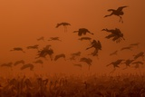 Army Cranes at Golden Sunrise ... Photographic Print by Natalia Rublina