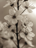 Blossom Cluster Giclee Print by Assaf Frank