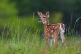 Spring Fawn Photographic Print by Nick Kalathas