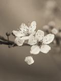 Blossom Duet Giclee Print by Assaf Frank