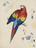 Sketchbook Macaw II Giclee Print by Edward Lear