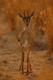 Gazella Portrait Photographic Print by Assaf Gavra
