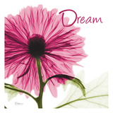 Pink Chrysanthemum Dream Prints by Albert Koetsier