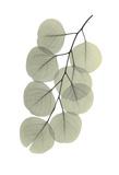 Striving Eucalyptus 2 Print by Albert Koetsier