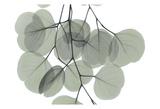 Descending Eucalyptus 5 Art by Albert Koetsier