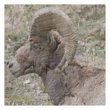 Big HoRn Prints by Sheldon Lewis