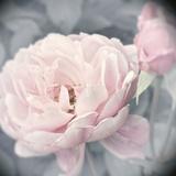 Belle Rose I Prints by Linda Wood