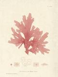 Nitophyllum hilliae Posters by Henry Bradbury