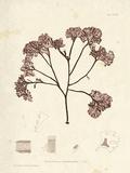 Phyllophora membranifolia Posters by Henry Bradbury