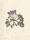Laurencia caespitosa Posters by Henry Bradbury