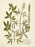 Botanica Agrimonia Prints by  The Vintage Collection