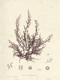 Chondria dasyphylla Art by Henry Bradbury