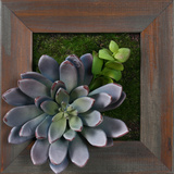 *Exclusive* Lavender Succulent Square - Grayson Mahogany * Dimensional Product