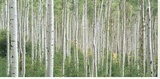 Early Autumn Aspens Stretched Canvas Print by Dennis Frates