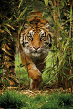 Bamboo Tiger Posters