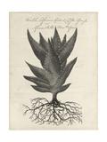 Thornton Succulents I Premium Giclee Print by Robert Thornton