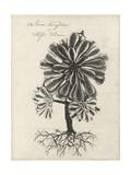 Thornton Succulents IV Premium Giclee Print by Robert Thornton