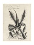 Thornton Succulents III Premium Giclee Print by Robert Thornton