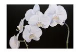 Dramatic Orchids I Posters by Sandra Iafrate