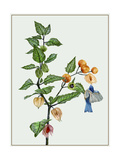 Cape Gooseberry II Premium Giclee Print by Melissa Wang