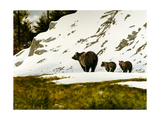 Grizzly Mother Giclee Print by Miguel Dominguez