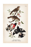 Vintage Birds: Rose-Breasted Gosbeak, Plate 35 Prints by  Piddix