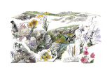 A Drawing of the Wildflowers in America's Alpine Tundras Giclee Print by Jack Unruh