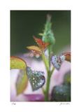 Roses 1 Særudgave af Florence Delva