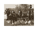 Shire Horses Prints by Barry Hart