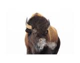 Winter Bison, Yellowstone Art by Jason Savage