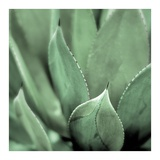 Agave 4 Posters by Alan Blaustein