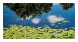 Water Lilies and Reflection Prints by David W. Pollard