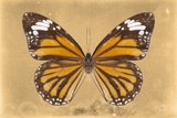 Miss Butterfly Genutia - Honey Photographic Print by Philippe Hugonnard