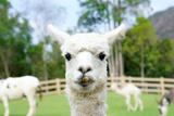 Alpaca Impressão fotográfica por  thaweerat
