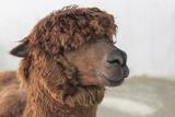 Alpaka Fotografisk tryk af  B NITI