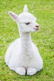 Cute Baby Alpaca Photographic Print by  sinagrafie