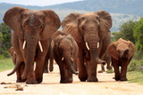 A Herd of Elephant Walk towards the Camera with All of Them Moving their Trunks and Smelling Me. Ta Photographic Print by JONATHAN PLEDGER