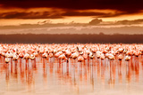 African Flamingos in the Lake over Beautiful Sunset, Flock of Exotic Birds at Natural Habitat, Afri Photographic Print by Anna Om